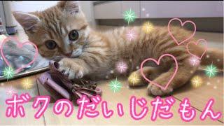 自由気ままにリボンで遊ぶマンチカンの子猫茶々が可愛いッッ!!