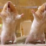 ハムスター必死の主張!気持ちはわかるけど…めっちゃ笑える!可愛い癒しおもしろ動物Hamster claims! I know the feeling