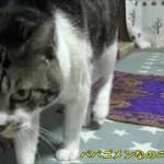 可愛い声で謝る猫☆勢いあまってパパに攻撃しちゃったリキちゃんの焦り方が半端ないw【リキちゃんねる 猫動画】Cat video キジトラ猫との暮らし