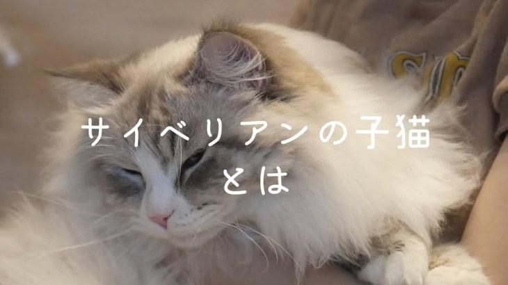 【猫】サイベリアンの成長速度がすごすぎてかわいい。