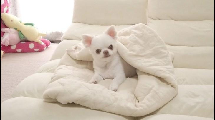 ホッコリする犬の可愛い日常ダイジェスト!のんきなチワワのコハク