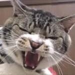 今月も!激おこ猫リキちゃん☆動物病院でゴジラ化☆威嚇する声が可愛い【リキちゃんねる 猫動画】Cat video キジトラ猫との暮らし