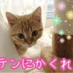 カーテンにくるまって遊ぶマンチカンの子猫茶々が可愛いッ!!
