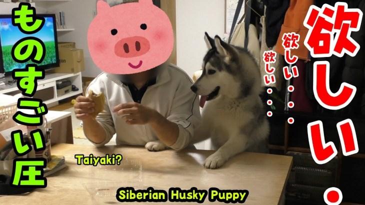 飼い主のおやつを欲しがるハスキー犬がかわいい Husky Puppy