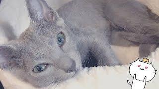 水を飲もうとして水にびっくりする可愛いロシアンブルーの子猫【ぬん】