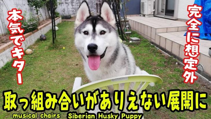 取っ組み合いがありえない展開になるハスキー犬がおもしろい Husky Puppy