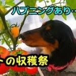 【ハプニングあり(笑)】鼻ちゃんとトマトの収穫祭です🍅✨【鼻ちゃん日記】#599