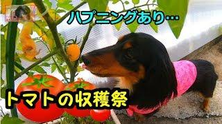 【ハプニングあり(笑)】鼻ちゃんとトマトの収穫祭です✨【鼻ちゃん日記】#599