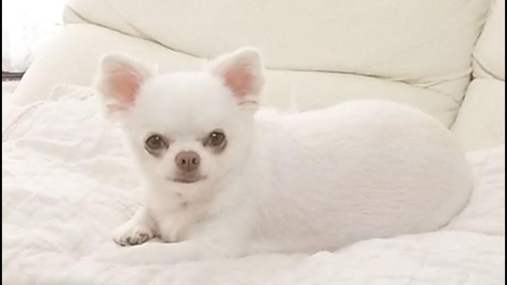 パパに居て欲しい感が強い可愛い犬!チワワのコハク