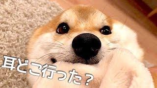 耳の可動域がスゴイ!歓迎に体力を奪われブヒブヒ…柴犬こてつ君!