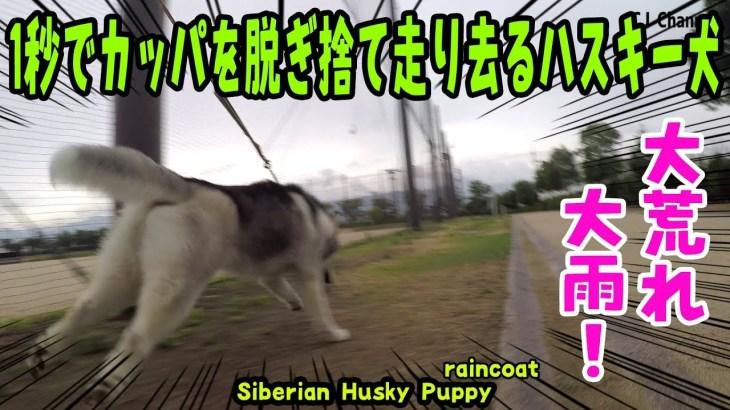 1秒でカッパを脱ぎ捨て走り去るハスキー犬がおもしろい Husky Puppy