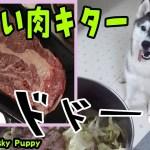 でかい肉をあげてみた! はしゃぐハスキー犬がかわいい Husky Puppy