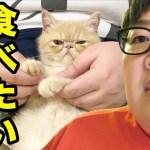 ブチャ吉の超可愛い動画をひたすら集めてみた!パンケーキ食べたいを踊る子猫!
