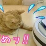 ロボット掃除機にいじわるするマンチカンの子猫茶々がおもしろい!【日刊ねこもふ生活】