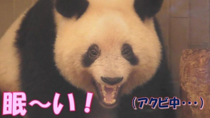 8/17シャンシャン眠〜い!残業明けで眠いけど可愛いお顔も見せてくれた!上野動物園【パンダ生活チャンネル】