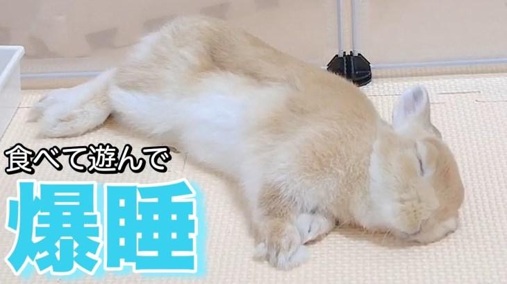 うさぎの目瞑りガチ寝激写!食べて遊んだら可愛い爆睡!