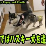 追いかけるプードルに逃げ回るハスキー犬がおもしろい Husky Puppy and Poodle