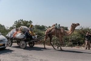 Hauling the goods via a camel powered cart