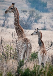 Giraffes seen on safari