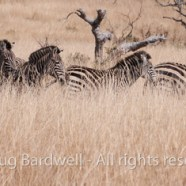Why safari in Zimbabwe?  Why do it now?