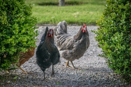 Bantry House Garden's chicken patrol