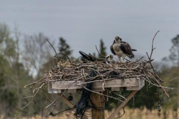 Osprey in Lewes, DE