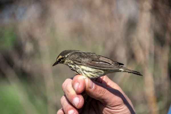 Northern Water thrush being banded