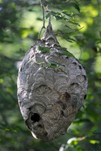 Photo of a hornets nest