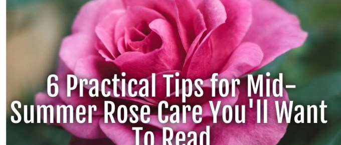 six tips rose care