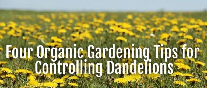 controlling dandelions