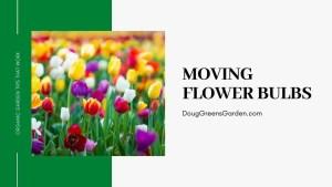 moving flower bulbs