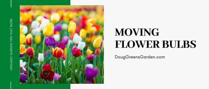 moving flower bulbs