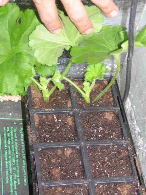 plant cuttings rooting on a heat mat