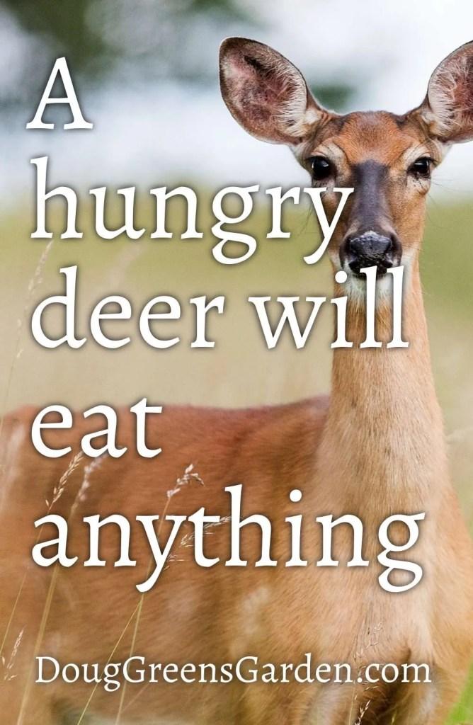 hungry deer will eat even deer resistant perennial flowers