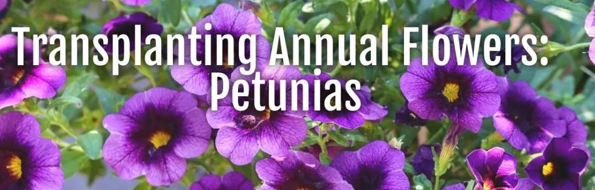 transplanting annual flower seedlings