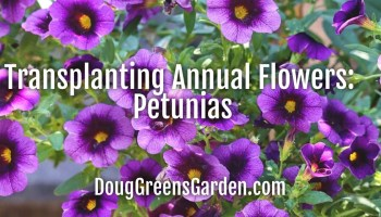 transplanting annual flower seedlings