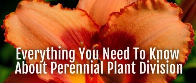 perennial plant division
