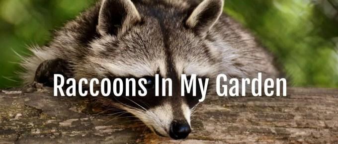 raccoons in my garden