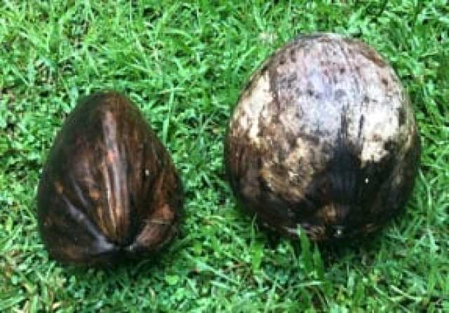 The niu kafa coconut on the left is long with a three-sided angular shape. Nui vai on the right is large and round.