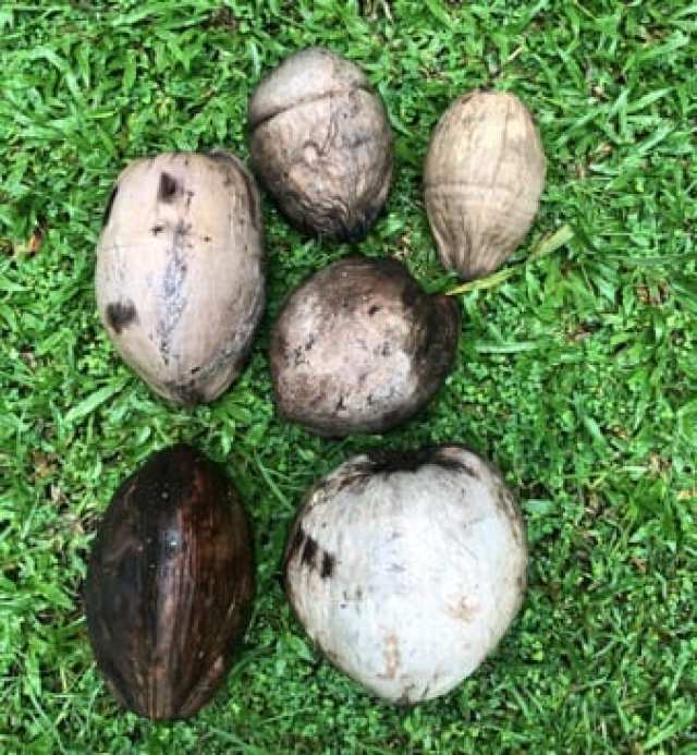 The coconut  on the bottom feft is a niu kafa nut. At the bottom right is a niu vai nut.