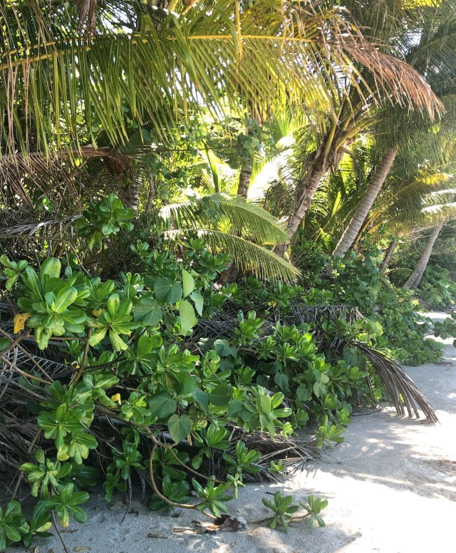 Research shows that the deep roots of coconuts stabilise the frontal dunes and their fallen fronds and nuts, prevent erosion by the wind and tides by trapping sand to build up the dunes.
