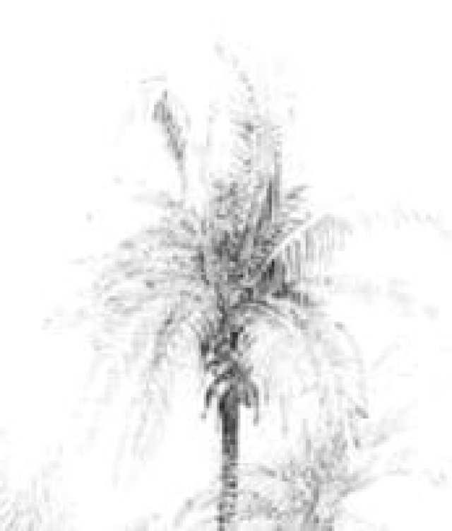 Russell Island Palm
