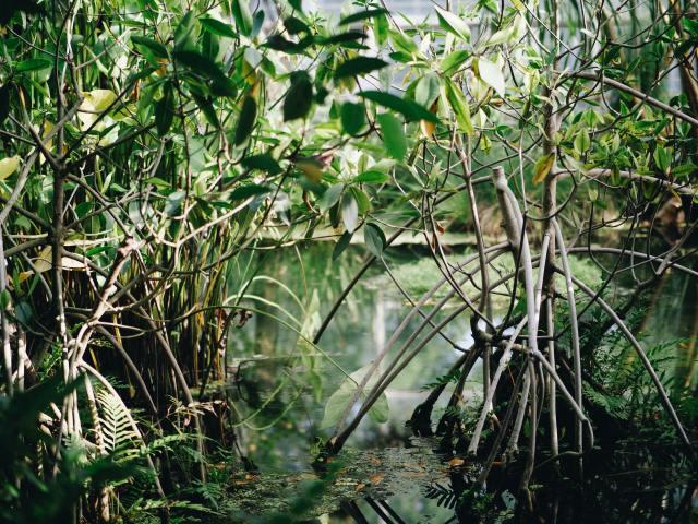 mangrove health kuku yalanji