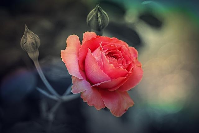 rose-615282_640