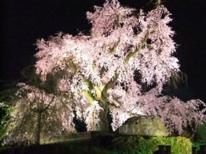 京都春のライトアップ 円山公園