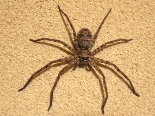 部屋 蜘蛛 大きい