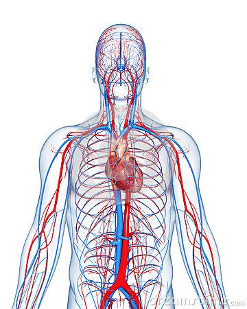 circulação sanguinea testosterona andropausa