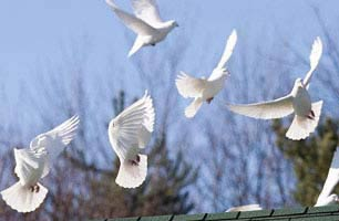 Image result for flock of doves taking flight