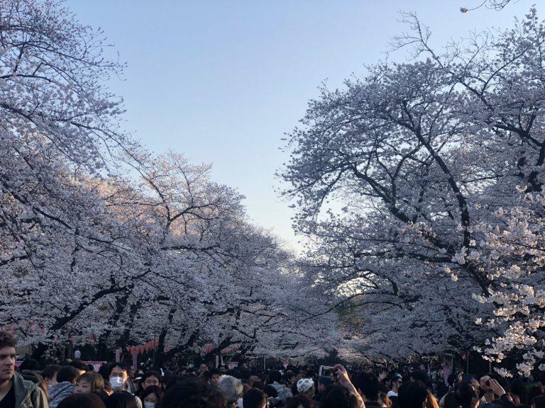 Hanami-la fioritura dei ciliegi a Tokyo Ueno2