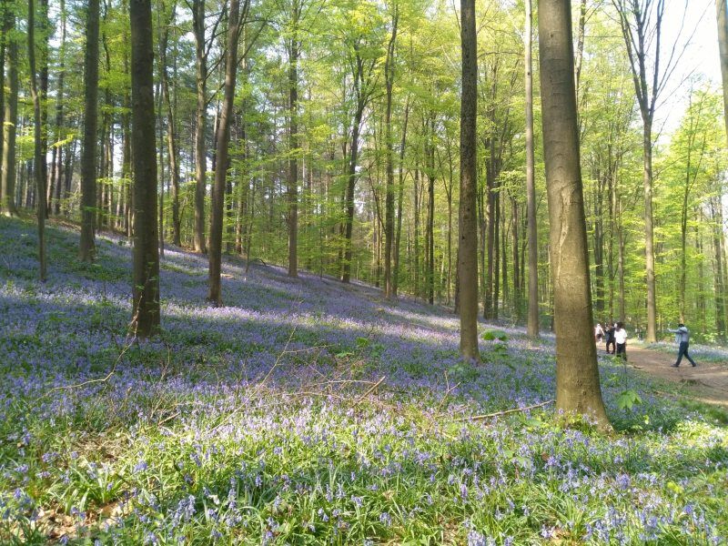 foresta blu fiandre